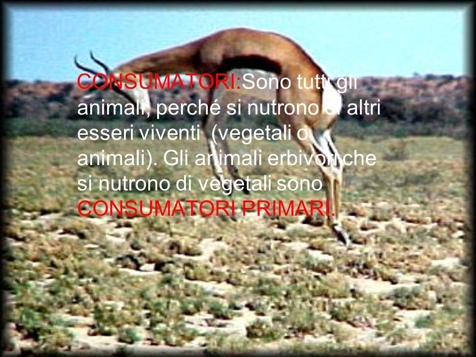 CONSUMATORI:Sono tutti gli animali, perché si nutrono di altri esseri viventi (vegetali o animali). Gli animali erbivori che si nutrono di vegetali so