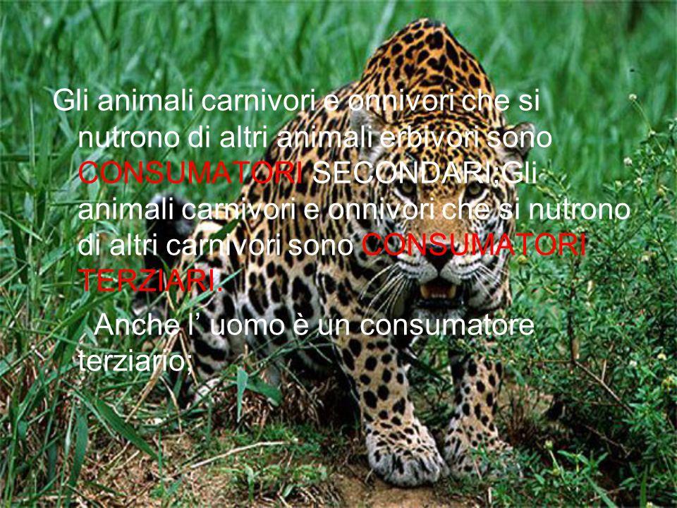 Gli animali carnivori e onnivori che si nutrono di altri animali erbivori sono CONSUMATORI SECONDARI;Gli animali carnivori e onnivori che si nutrono d