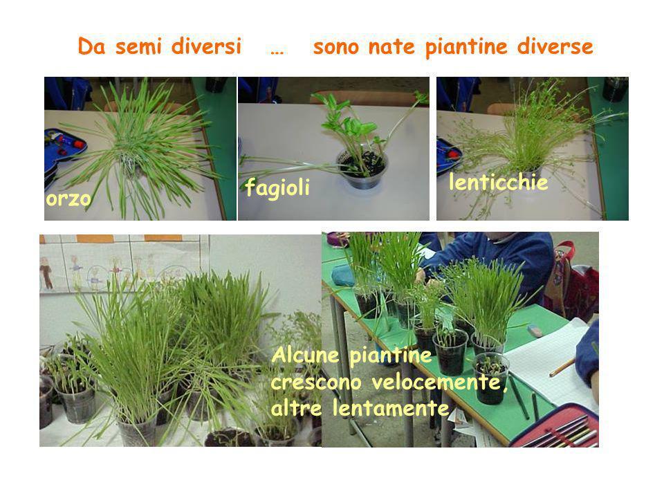 Da semi diversi … sono nate piantine diverse orzo fagioli lenticchie Alcune piantine crescono velocemente, altre lentamente