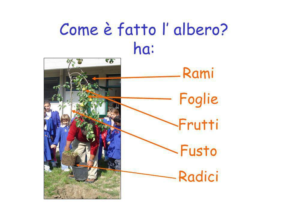 Come è fatto l albero? ha: Rami Foglie Frutti Fusto Radici
