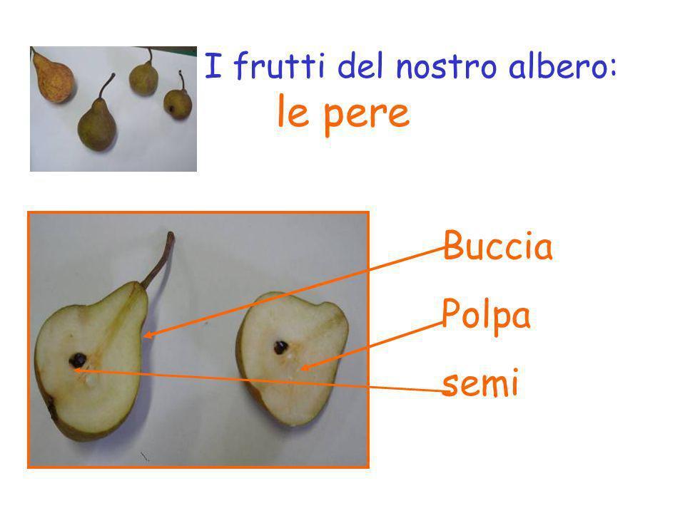 I frutti del nostro albero: le pere Buccia Polpa semi