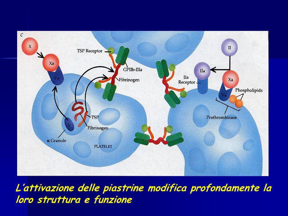Lattivazione delle piastrine modifica profondamente la loro struttura e funzione