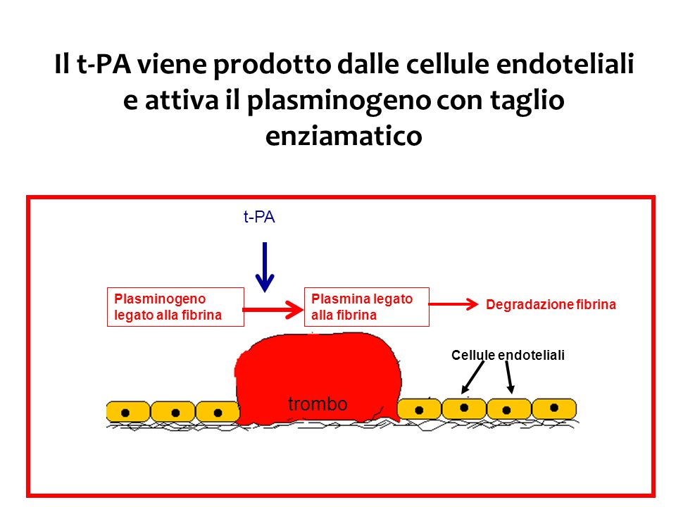 Il t-PA viene prodotto dalle cellule endoteliali e attiva il plasminogeno con taglio enziamatico trombo Cellule endoteliali Plasminogeno legato alla f