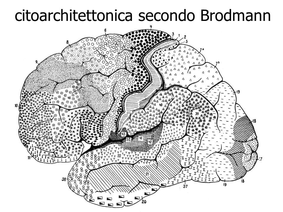 citoarchitettonica secondo Brodmann