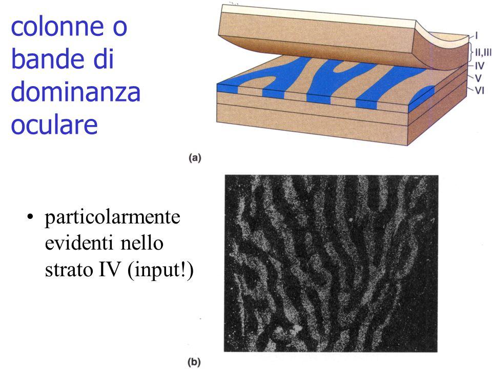 colonne o bande di dominanza oculare particolarmente evidenti nello strato IV (input!)
