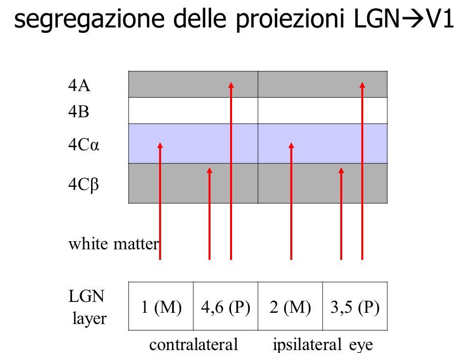 segregazione delle proiezioni LGN V1 4A 4B 4Cα 4Cβ white matter LGN layer 1 (M)4,6 (P)2 (M)3,5 (P) contralateral eye column ipsilateral eye column