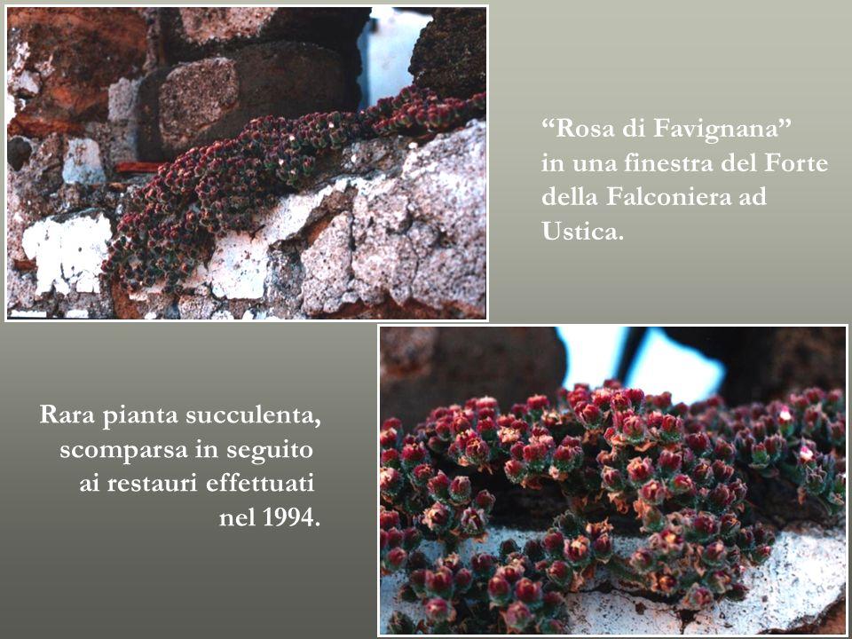 Rosa di Favignana in una finestra del Forte della Falconiera ad Ustica. Rara pianta succulenta, scomparsa in seguito ai restauri effettuati nel 1994.