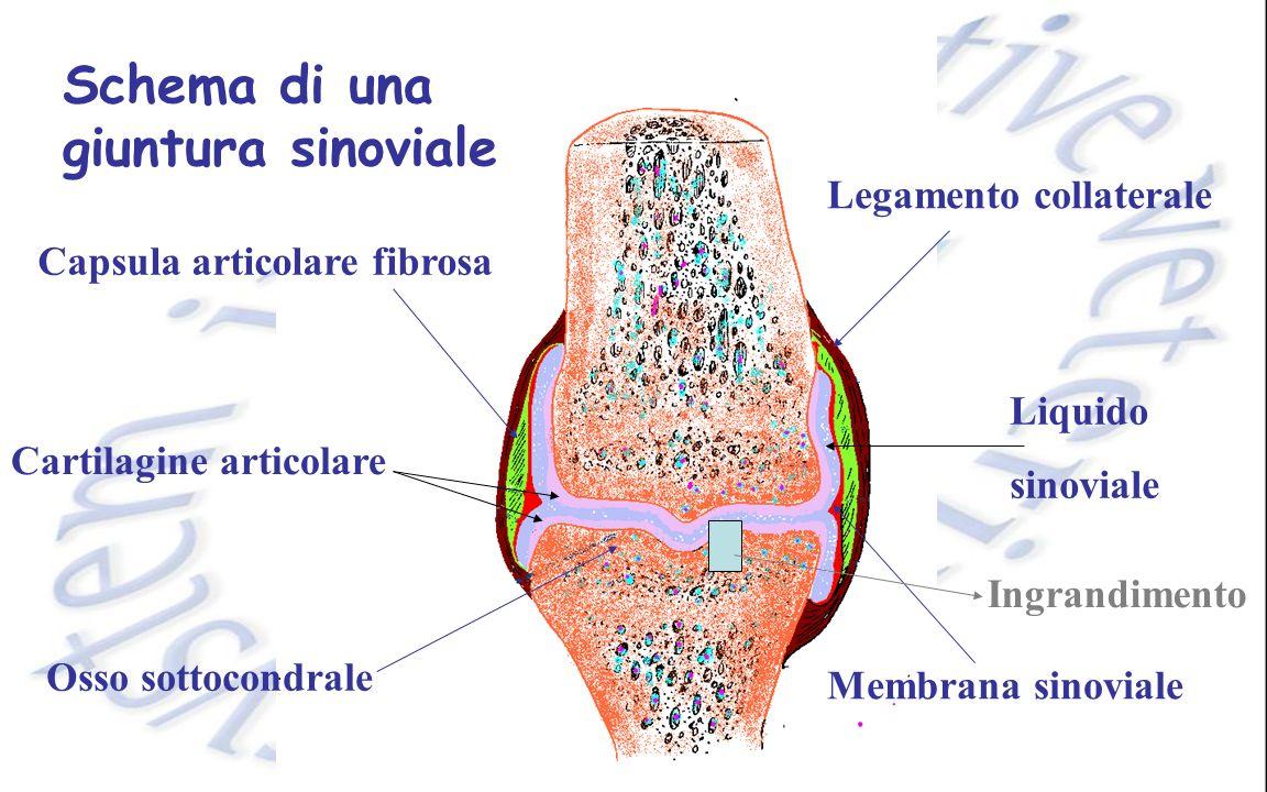 Schema di una giuntura sinoviale Legamento collaterale Capsula articolare fibrosa Membrana sinoviale Osso sottocondrale Cartilagine articolare Liquido sinoviale Ingrandimento