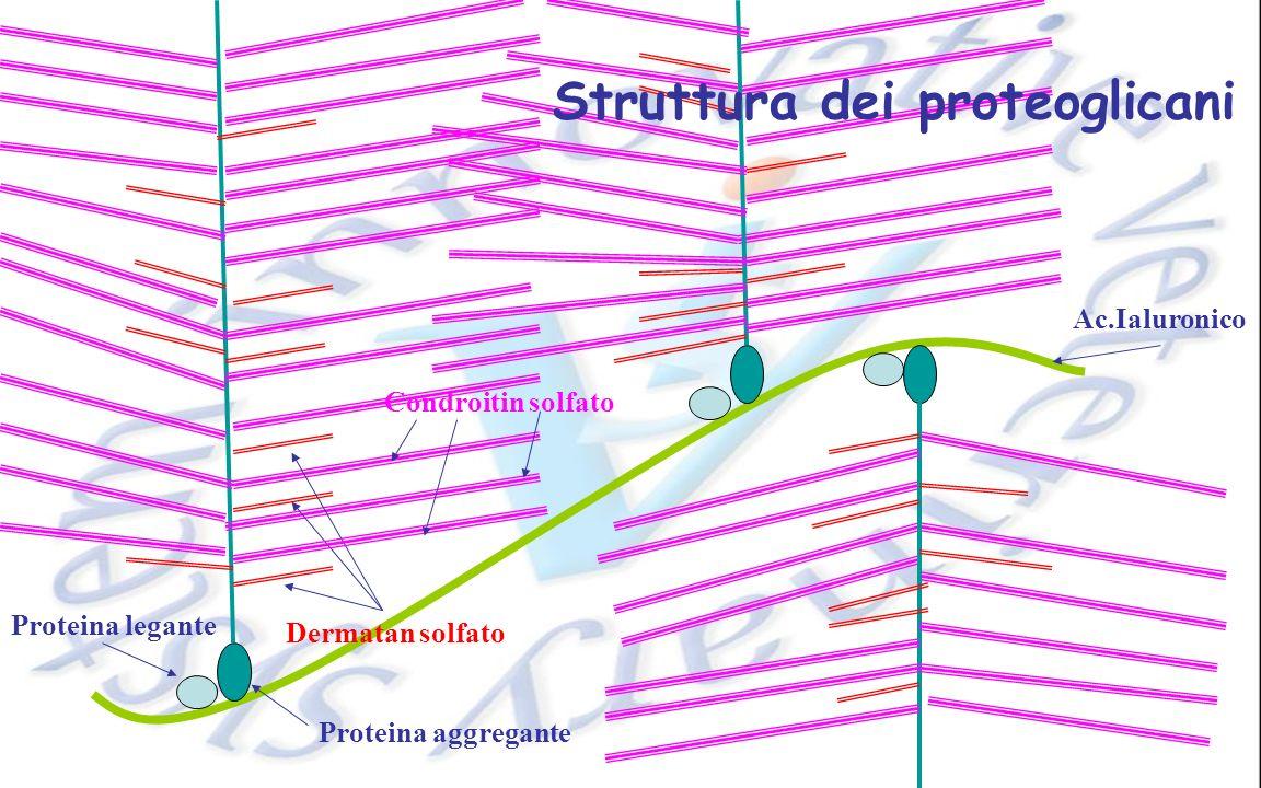Ac.Ialuronico Proteina legante Proteina aggregante Dermatan solfato Condroitin solfato Struttura dei proteoglicani