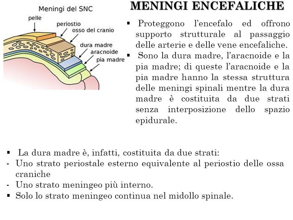 MENINGI ENCEFALICHE Proteggono lencefalo ed offrono supporto strutturale al passaggio delle arterie e delle vene encefaliche. Sono la dura madre, lara