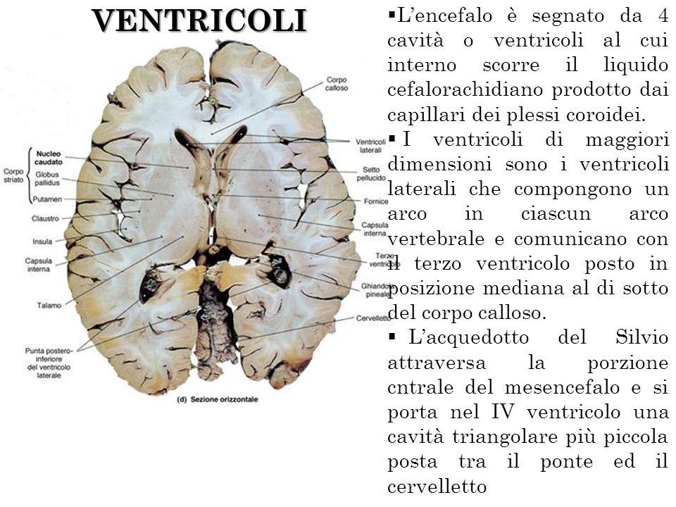 VENTRICOLI Lencefalo è segnato da 4 cavità o ventricoli al cui interno scorre il liquido cefalorachidiano prodotto dai capillari dei plessi coroidei.