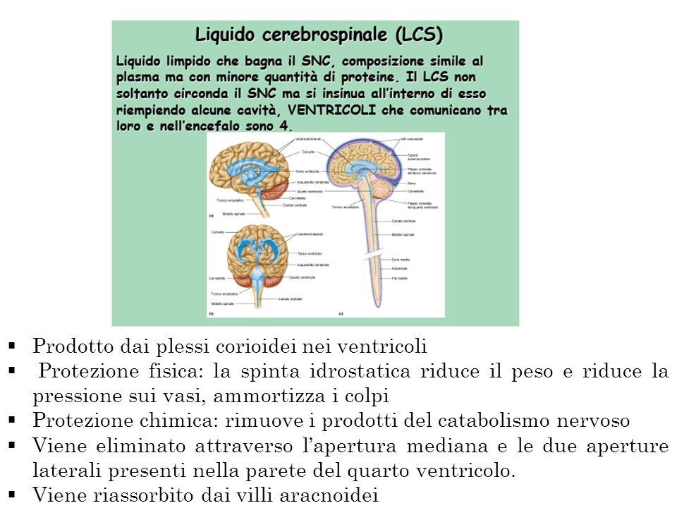 Prodotto dai plessi corioidei nei ventricoli Protezione fisica: la spinta idrostatica riduce il peso e riduce la pressione sui vasi, ammortizza i colp