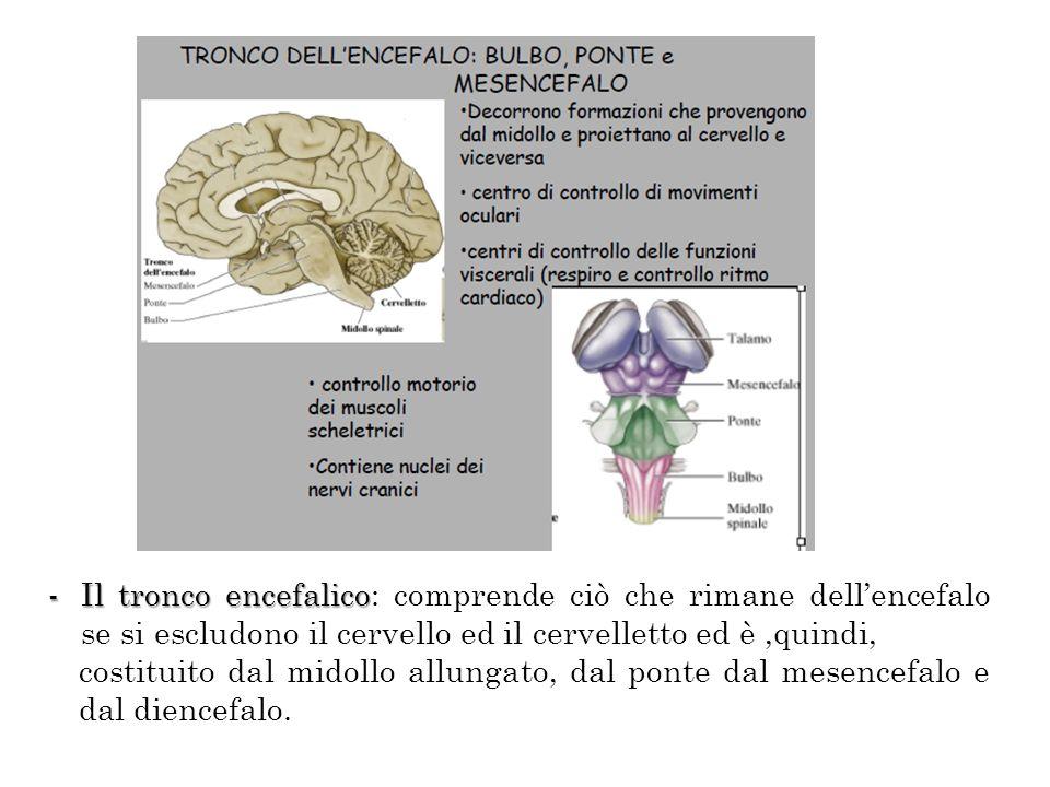 -Il tronco encefalico -Il tronco encefalico: comprende ciò che rimane dellencefalo se si escludono il cervello ed il cervelletto ed è,quindi, costitui