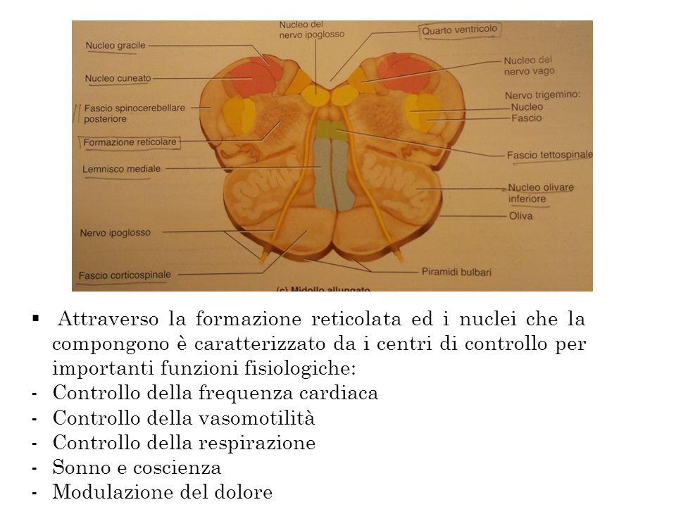 Attraverso la formazione reticolata ed i nuclei che la compongono è caratterizzato da i centri di controllo per importanti funzioni fisiologiche: -Con