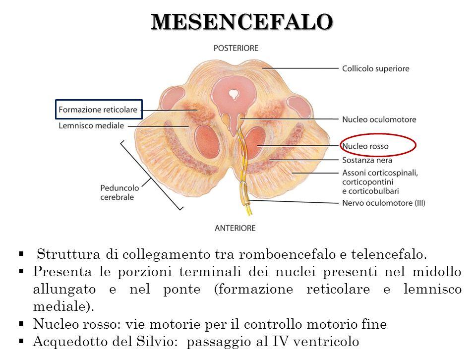 MESENCEFALO Struttura di collegamento tra romboencefalo e telencefalo. Presenta le porzioni terminali dei nuclei presenti nel midollo allungato e nel