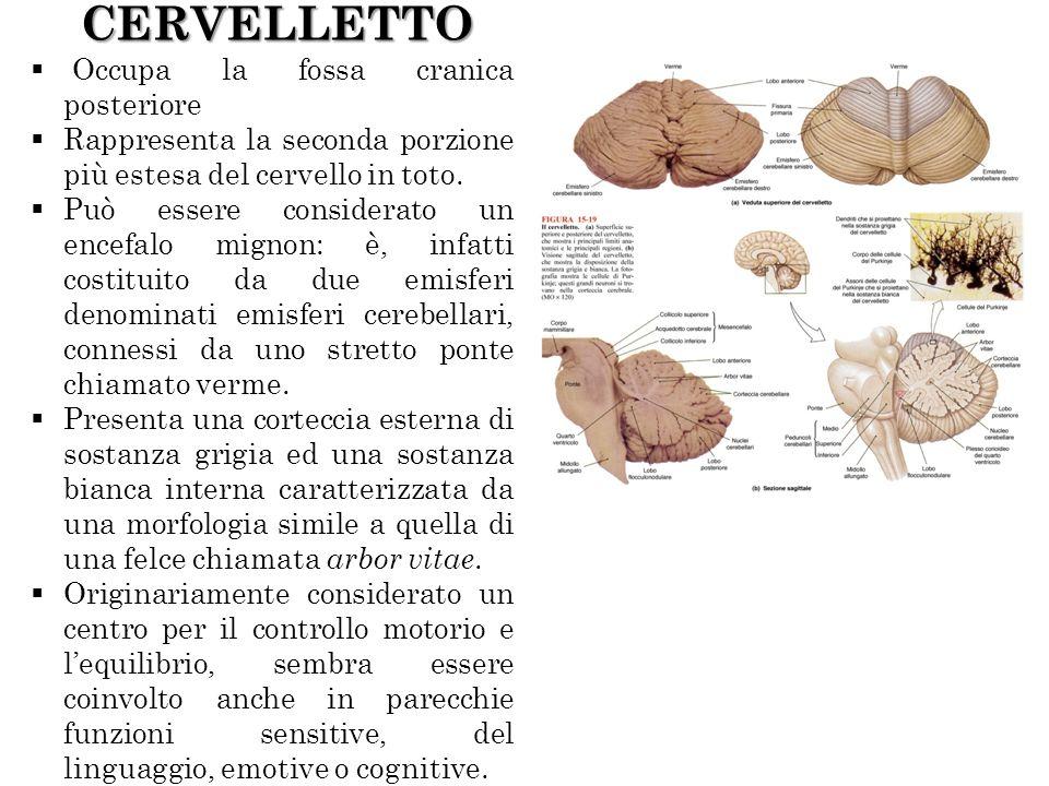 CERVELLETTO Occupa la fossa cranica posteriore Rappresenta la seconda porzione più estesa del cervello in toto. Può essere considerato un encefalo mig