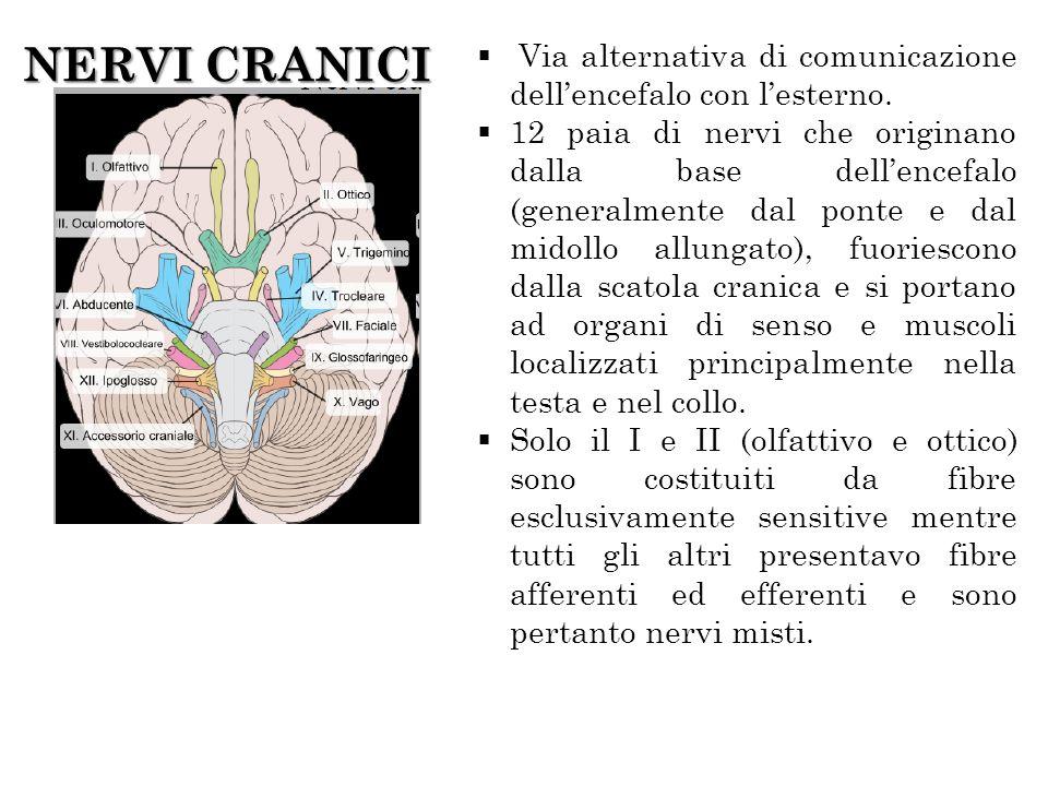 NERVI CRANICI Via alternativa di comunicazione dellencefalo con lesterno. 12 paia di nervi che originano dalla base dellencefalo (generalmente dal pon