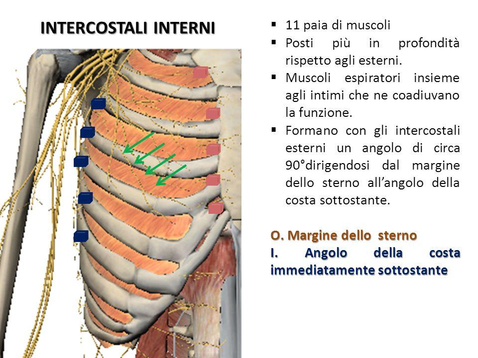 INTERCOSTALI INTERNI 11 paia di muscoli Posti più in profondità rispetto agli esterni. Muscoli espiratori insieme agli intimi che ne coadiuvano la fun