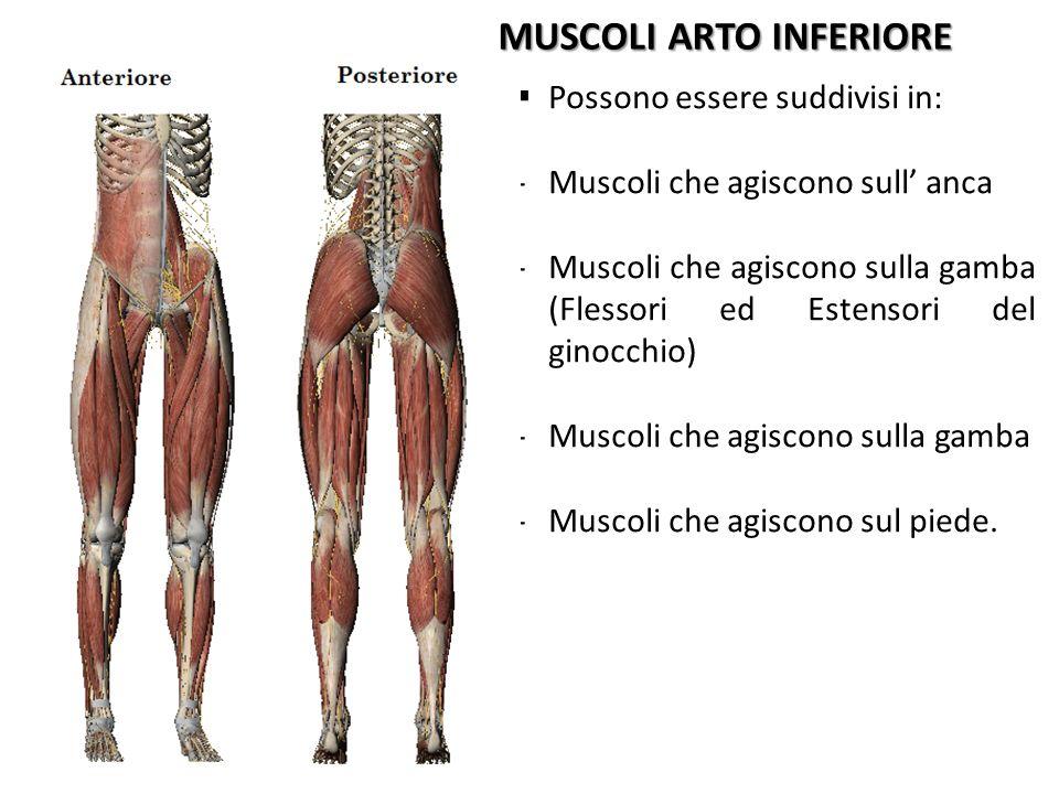 MUSCOLI ARTO INFERIORE Possono essere suddivisi in: -Muscoli che agiscono sull anca -Muscoli che agiscono sulla gamba (Flessori ed Estensori del ginoc