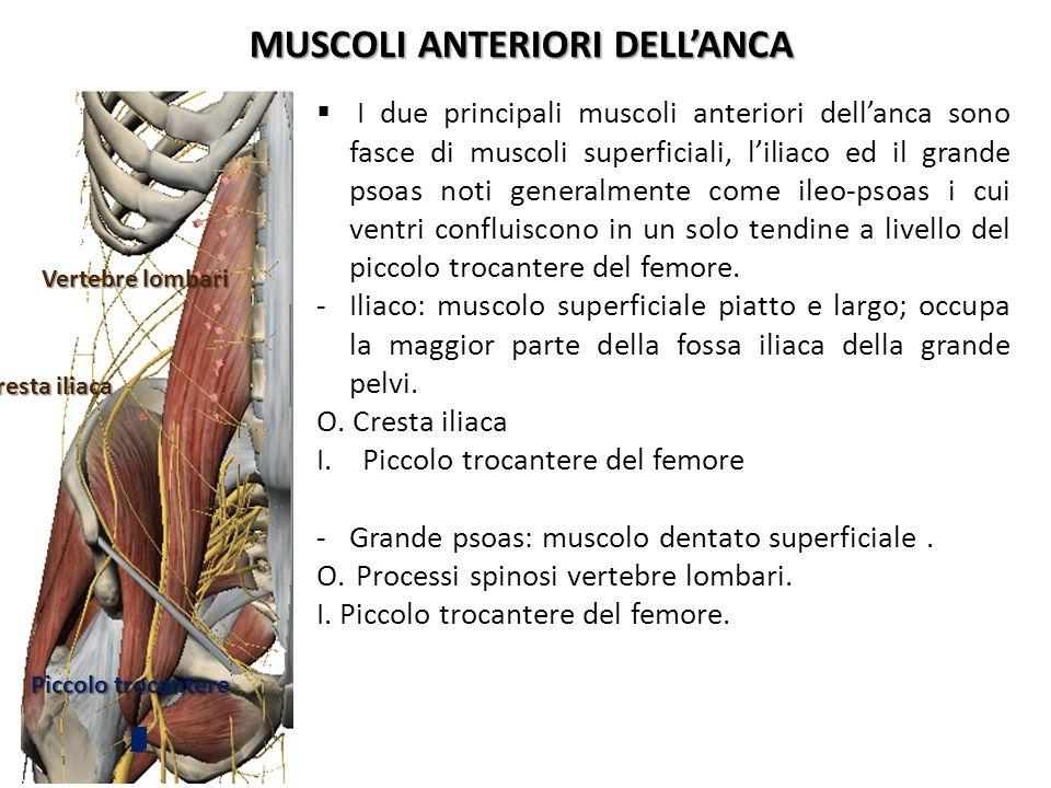 MUSCOLI ANTERIORI DELLANCA I due principali muscoli anteriori dellanca sono fasce di muscoli superficiali, liliaco ed il grande psoas noti generalment