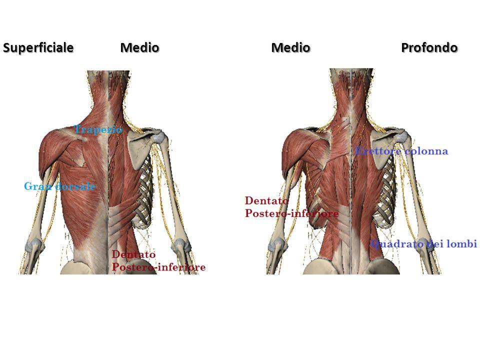 MUSCOLI ARTO INFERIORE Possono essere suddivisi in: -Muscoli che agiscono sull anca -Muscoli che agiscono sulla gamba (Flessori ed Estensori del ginocchio) -Muscoli che agiscono sulla gamba -Muscoli che agiscono sul piede.
