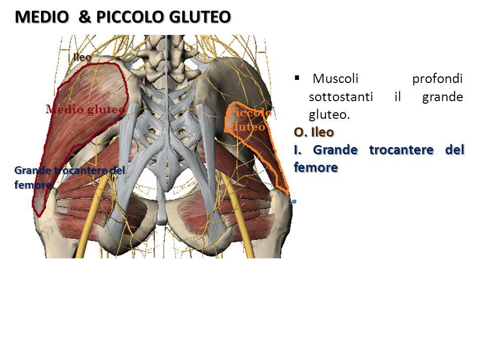 MEDIO & PICCOLO GLUTEO Ileo Grande trocantere del femore Muscoli profondi sottostanti il grande gluteo. O. Ileo I. Grande trocantere del femore