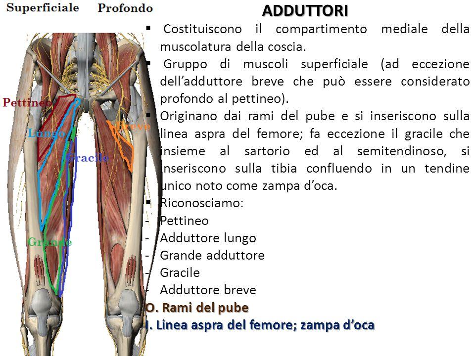ADDUTTORI Costituiscono il compartimento mediale della muscolatura della coscia. Gruppo di muscoli superficiale (ad eccezione delladduttore breve che