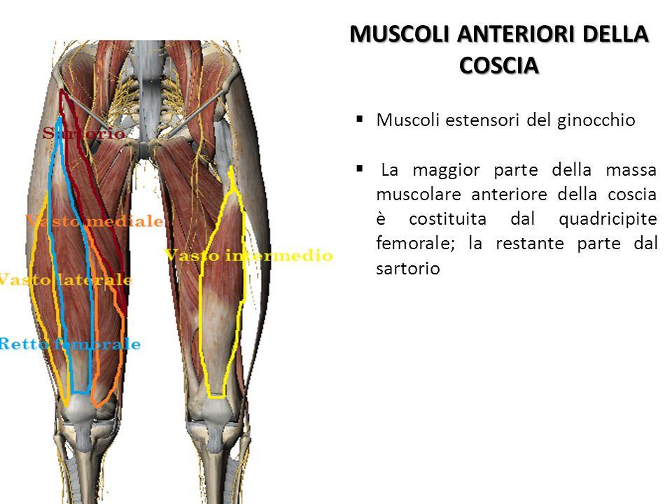 MUSCOLI ANTERIORI DELLA COSCIA Muscoli estensori del ginocchio La maggior parte della massa muscolare anteriore della coscia è costituita dal quadrici