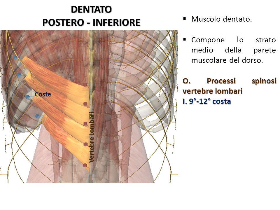 DENTATO POSTERO - INFERIORE Vertebre Lombari Coste Muscolo dentato. Compone lo strato medio della parete muscolare del dorso. O. Processi spinosi vert
