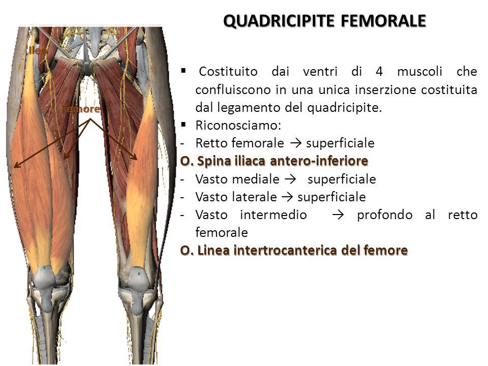 IleoFemore QUADRICIPITE FEMORALE Costituito dai ventri di 4 muscoli che confluiscono in una unica inserzione costituita dal legamento del quadricipite