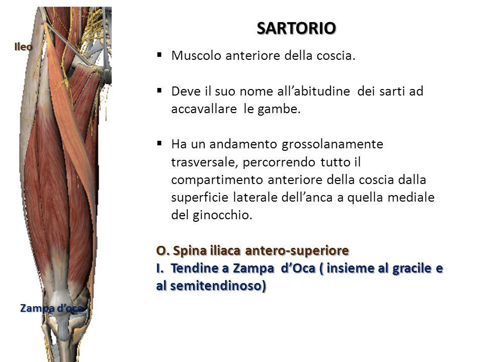 Ileo Zampa doca SARTORIO Muscolo anteriore della coscia. Deve il suo nome allabitudine dei sarti ad accavallare le gambe. Ha un andamento grossolaname