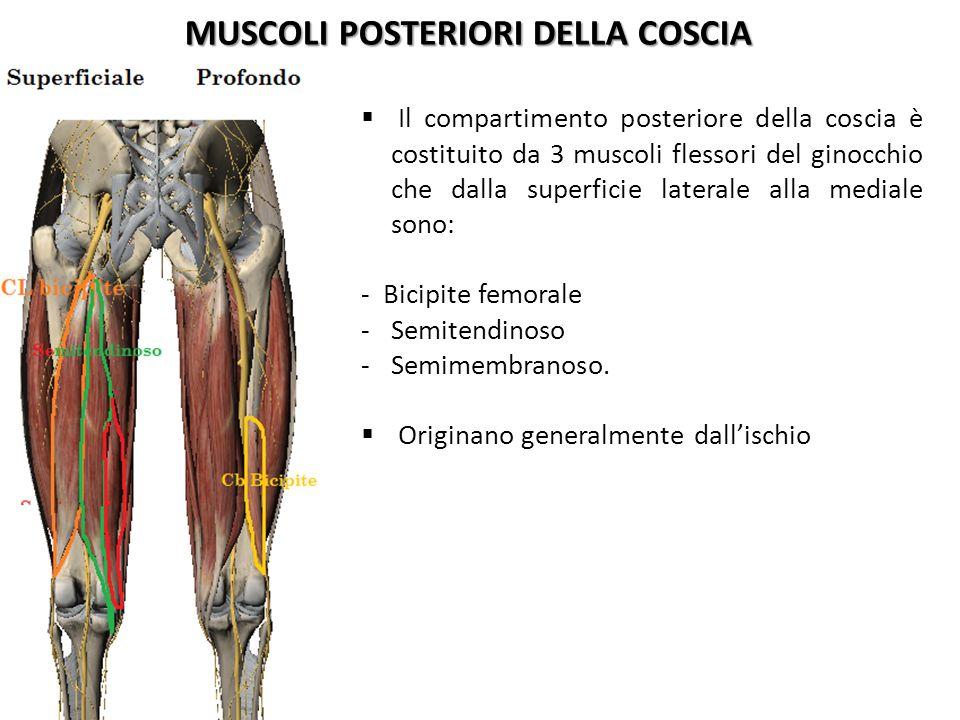 MUSCOLI POSTERIORI DELLA COSCIA Il compartimento posteriore della coscia è costituito da 3 muscoli flessori del ginocchio che dalla superficie lateral