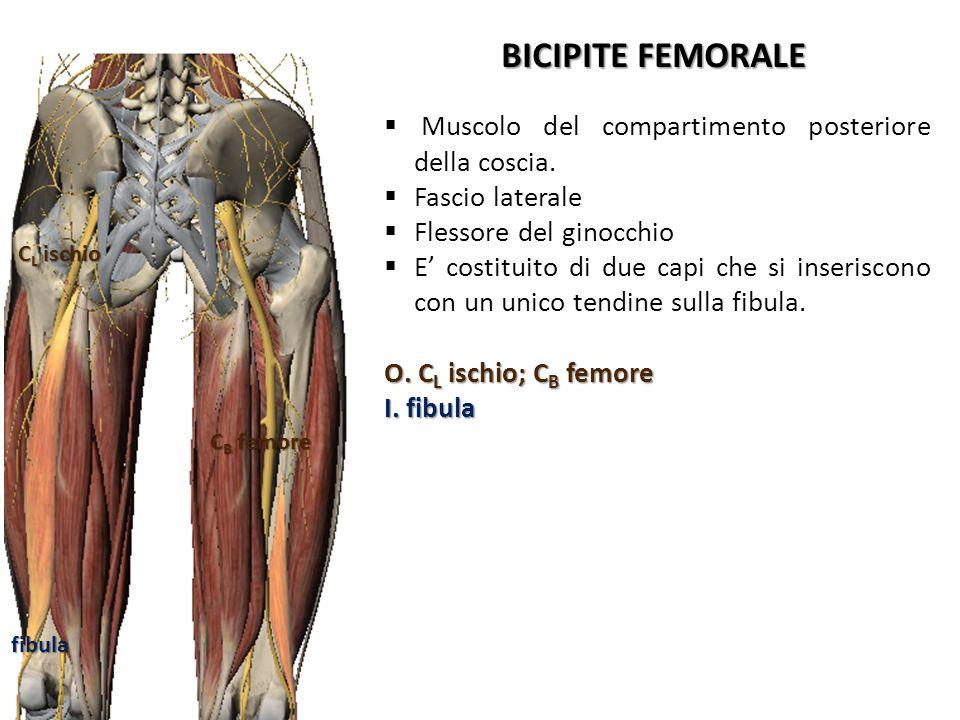 BICIPITE FEMORALE Muscolo del compartimento posteriore della coscia. Fascio laterale Flessore del ginocchio E costituito di due capi che si inseriscon