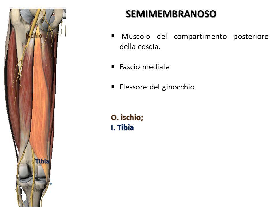 Muscolo del compartimento posteriore della coscia. Fascio mediale Flessore del ginocchio O. ischio; I. Tibia SEMIMEMBRANOSO ischio Tibia