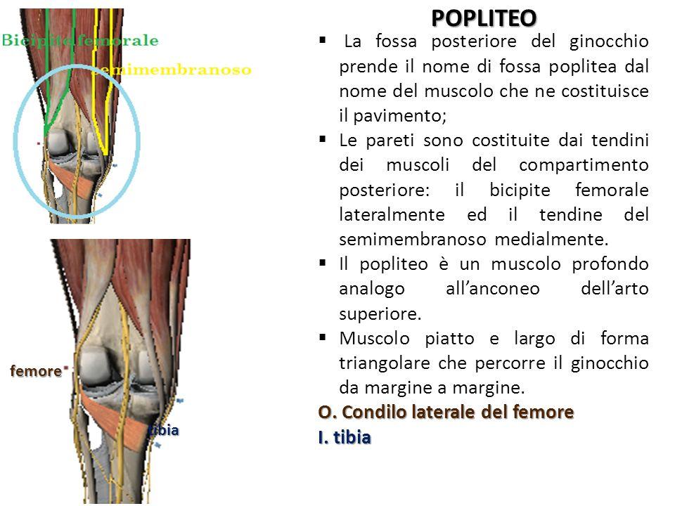 POPLITEO La fossa posteriore del ginocchio prende il nome di fossa poplitea dal nome del muscolo che ne costituisce il pavimento; Le pareti sono costi