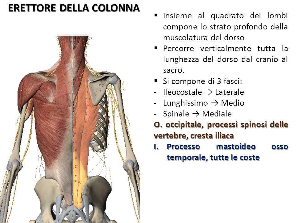 QUADRATO DEI LOMBI PosterioreAnteriore Cresta iliaca L1-L4 Muscolo profondo dalla forma di un quadrangolo irregolare più largo inferiormente che superiormente.