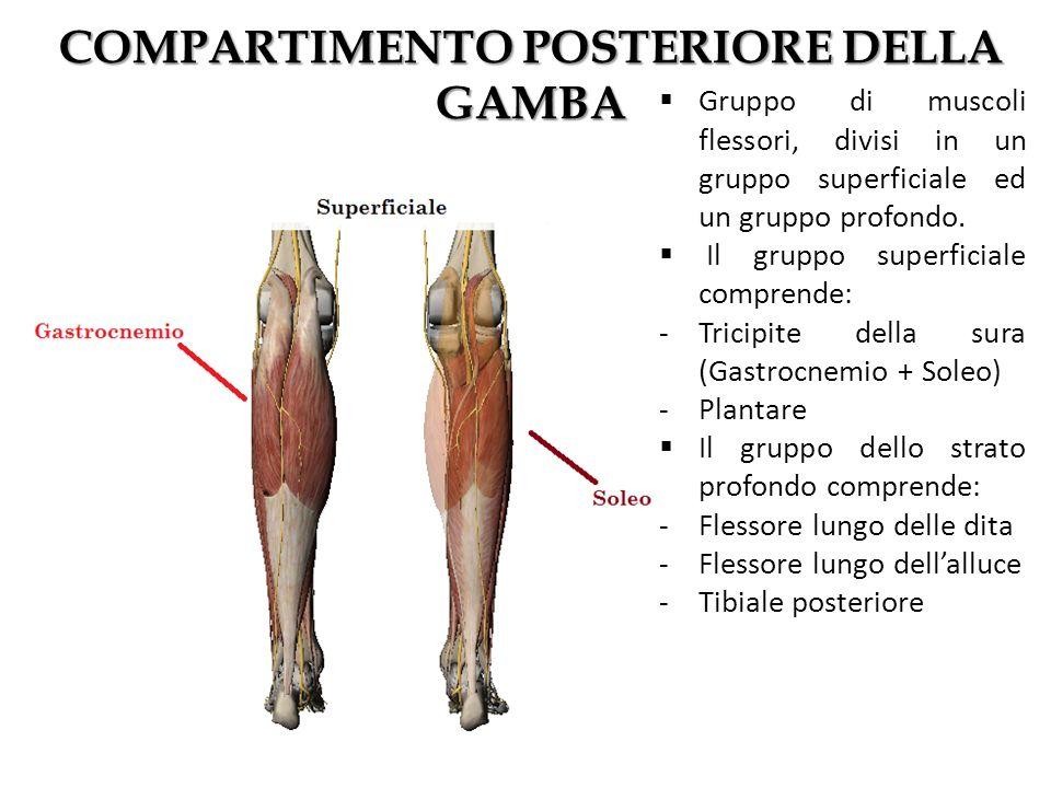 COMPARTIMENTO POSTERIORE DELLA GAMBA Gruppo di muscoli flessori, divisi in un gruppo superficiale ed un gruppo profondo. Il gruppo superficiale compre