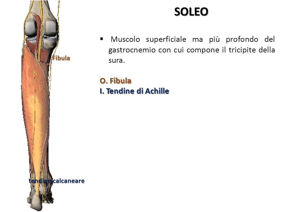 Fibula tendine calcaneare SOLEO Muscolo superficiale ma più profondo del gastrocnemio con cui compone il tricipite della sura. O. Fibula I. Tendine di