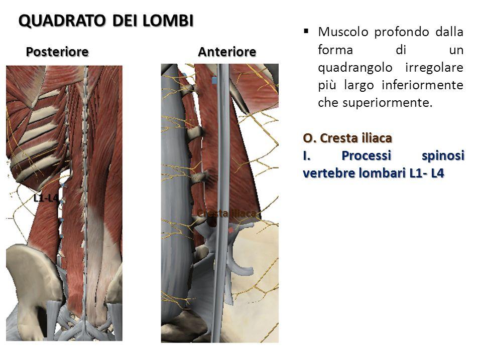 QUADRATO DEI LOMBI PosterioreAnteriore Cresta iliaca L1-L4 Muscolo profondo dalla forma di un quadrangolo irregolare più largo inferiormente che super