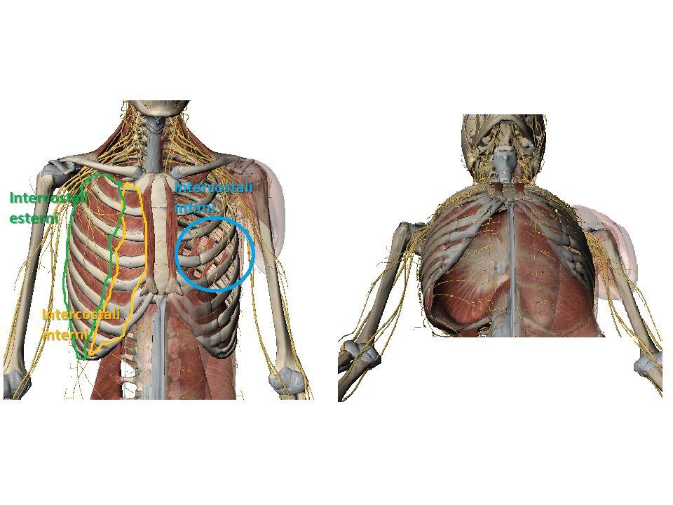 DIAFRAMMA Esofago IVC Cupola muscolare che segna il confine anatomico tra le cavità toraciche e addominopelvica.