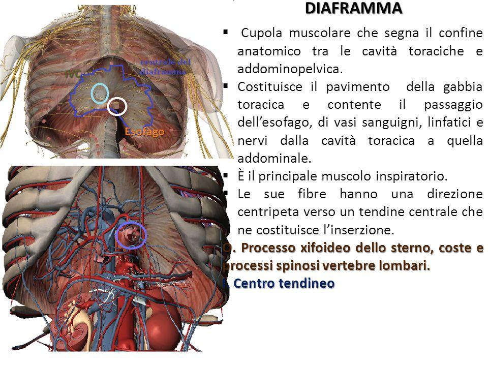 DIAFRAMMA Esofago IVC Cupola muscolare che segna il confine anatomico tra le cavità toraciche e addominopelvica. Costituisce il pavimento della gabbia