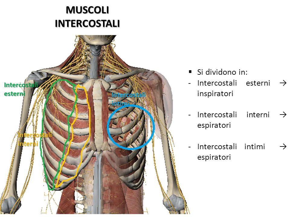 MUSCOLIINTERCOSTALI Intercostaliesterni Intercostaliinterni Intercostaliintimi Si dividono in: -Intercostali esterni inspiratori -Intercostali interni