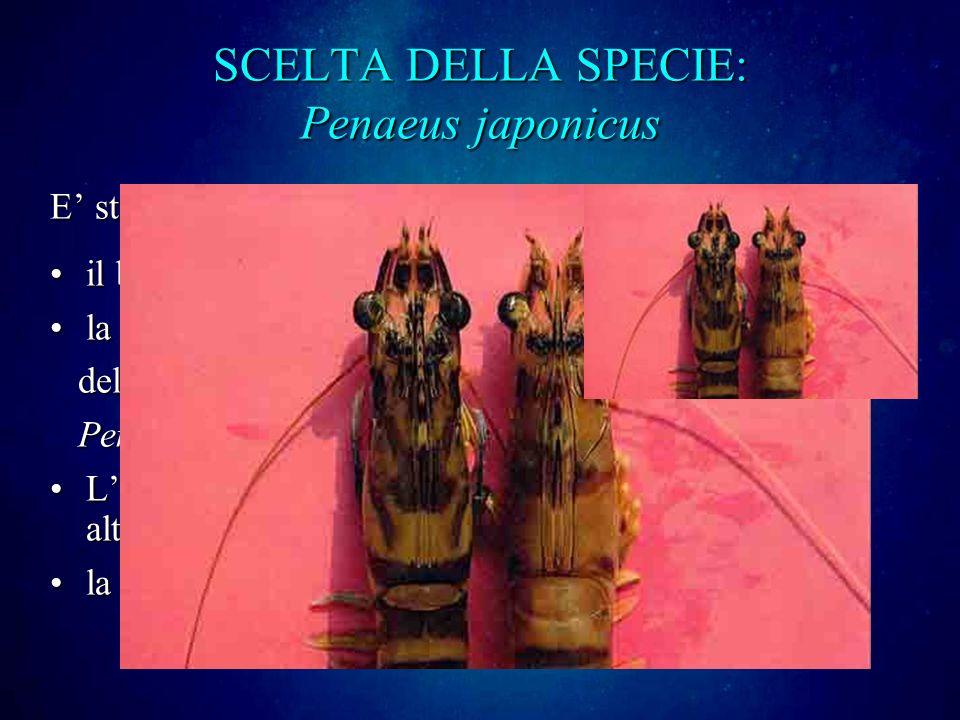 SCELTA DELLA SPECIE: Penaeus japonicus E stato scelto in Italia grazie a : il buon tasso di accrescimentoil buon tasso di accrescimento la pigmentazio