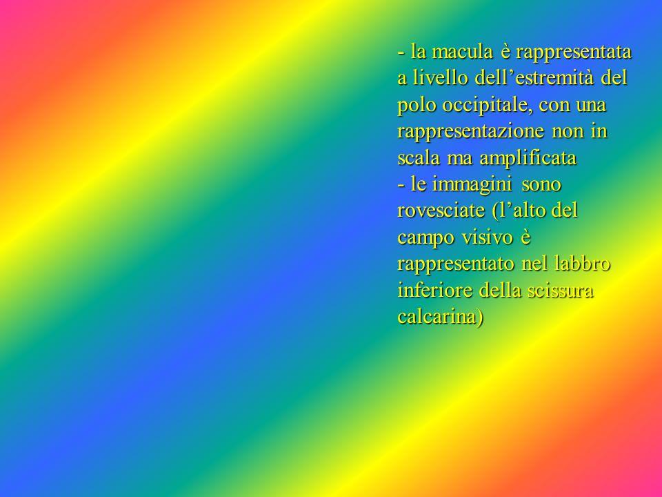 - la macula è rappresentata a livello dellestremità del polo occipitale, con una rappresentazione non in scala ma amplificata - le immagini sono roves