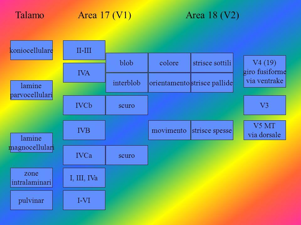 koniocellulare lamine parvocellulari pulvinar lamine magnocellulari zone intralaminari II-III IVA IVCb IVB IVCa I, III, IVa I-VI blob interblob scuro colorestrisce sottili orientamentostrisce pallide V4 (19) giro fusiforme via ventrake movimentostrisce spesse V5 MT via dorsale V3 TalamoArea 17 (V1)Area 18 (V2)