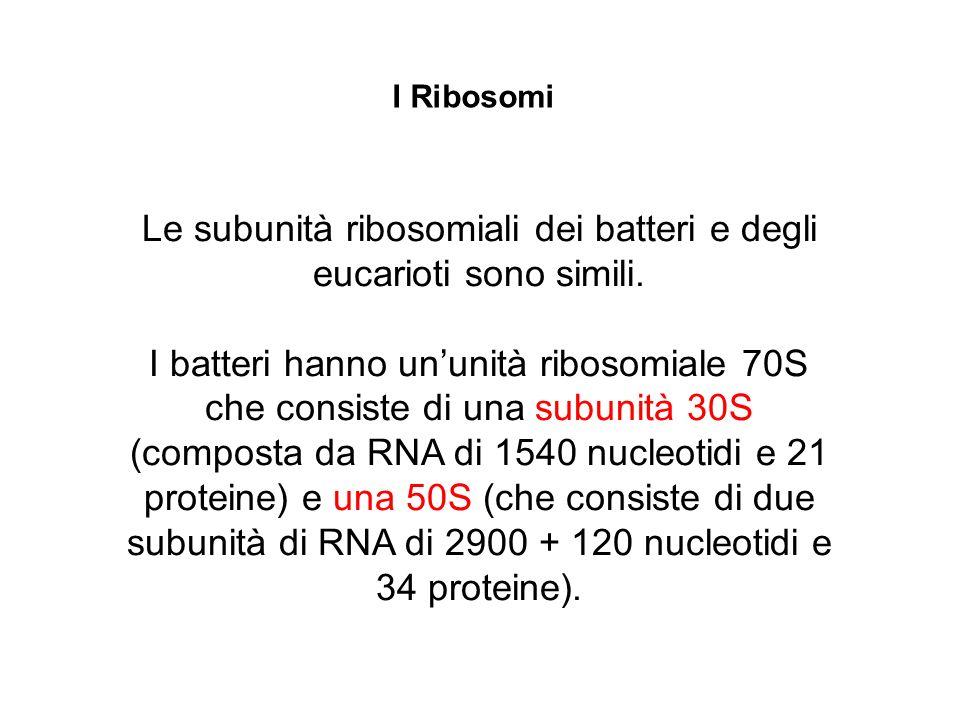 Le subunità ribosomiali dei batteri e degli eucarioti sono simili. I batteri hanno ununità ribosomiale 70S che consiste di una subunità 30S (composta