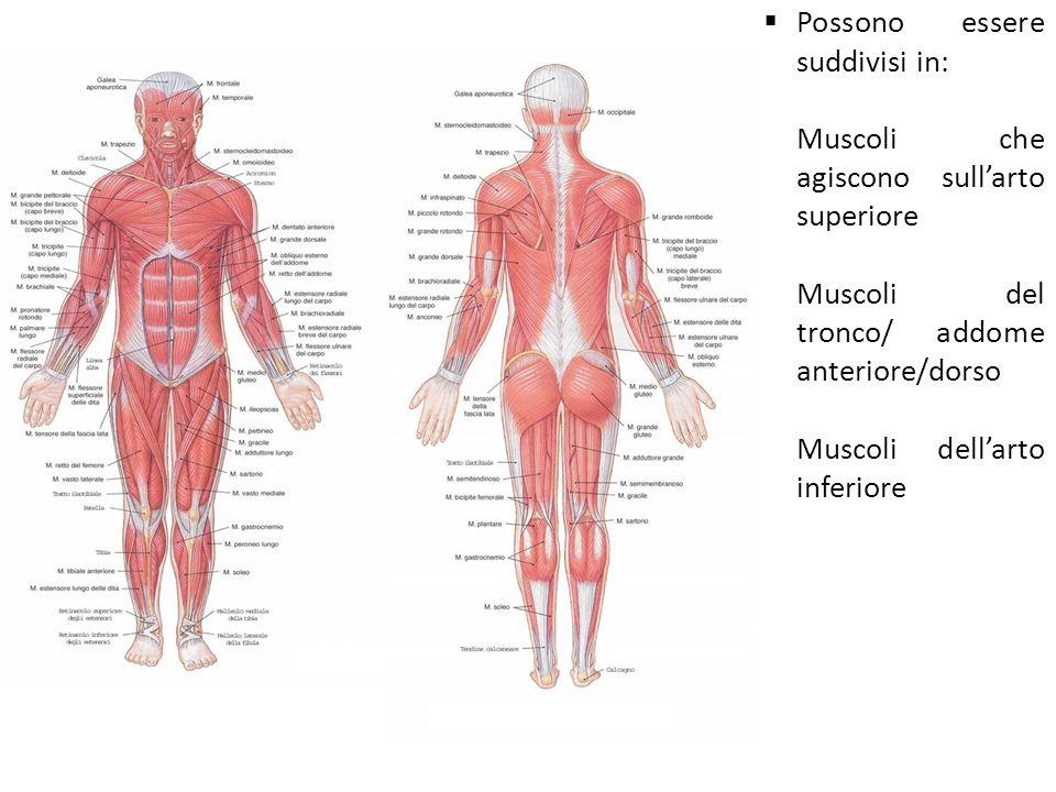 Possono essere suddivisi in: -Muscoli che agiscono sullarto superiore -Muscoli del tronco/ addome anteriore/dorso -Muscoli dellarto inferiore