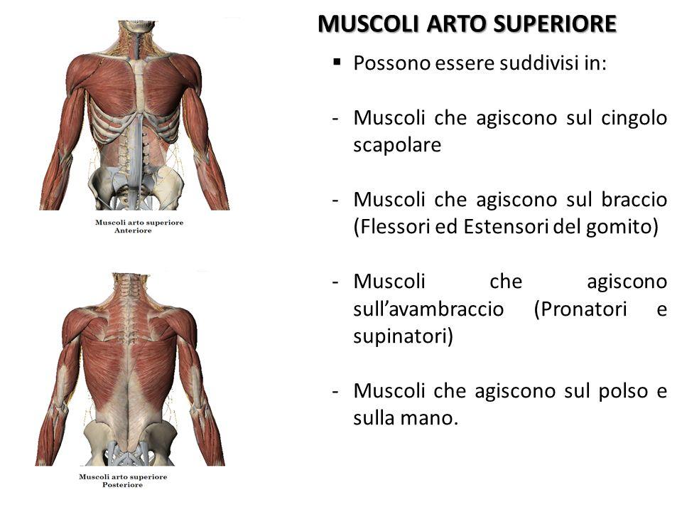 MUSCOLI ARTO SUPERIORE Possono essere suddivisi in: -Muscoli che agiscono sul cingolo scapolare -Muscoli che agiscono sul braccio (Flessori ed Estenso
