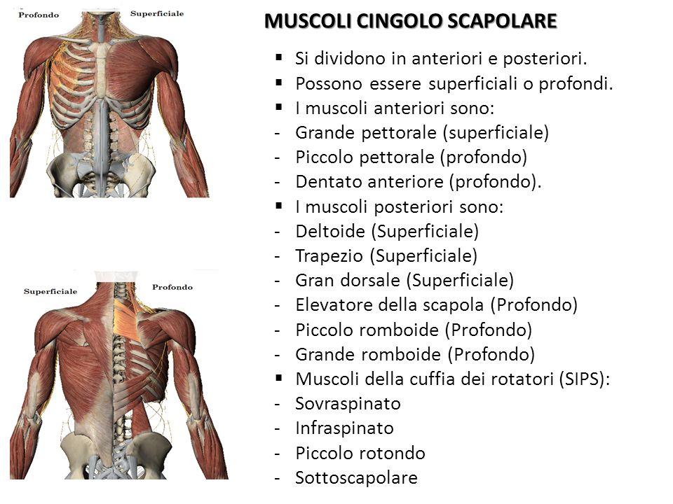 MUSCOLI CINGOLO SCAPOLARE Si dividono in anteriori e posteriori. Possono essere superficiali o profondi. I muscoli anteriori sono: -Grande pettorale (