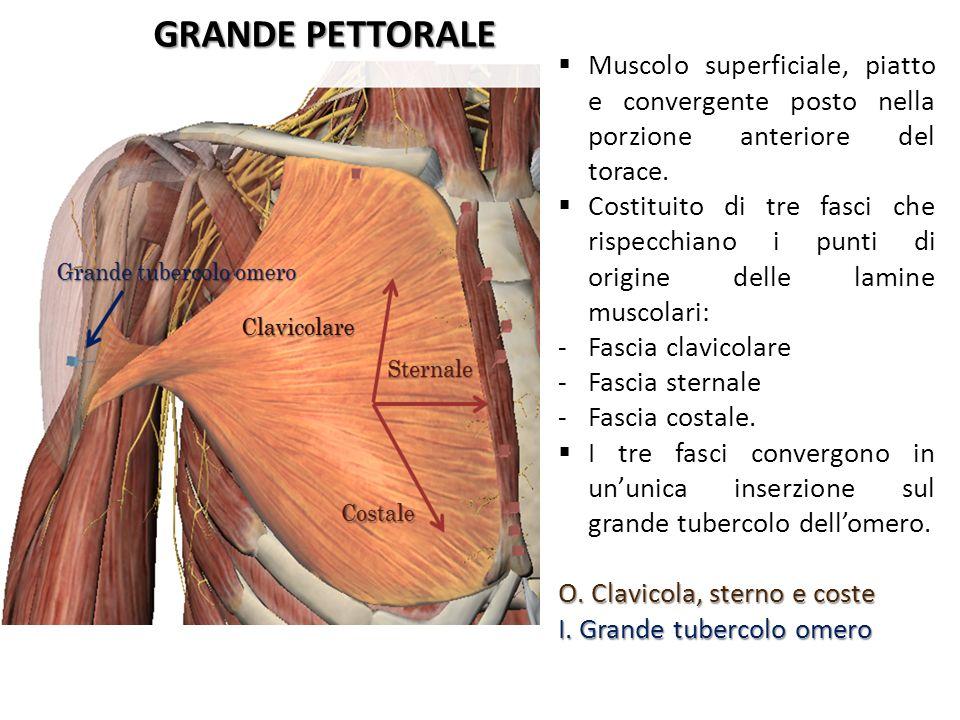 GRANDE PETTORALE Muscolo superficiale, piatto e convergente posto nella porzione anteriore del torace. Costituito di tre fasci che rispecchiano i punt